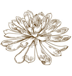 Engraving drawing of succulent echeveria vector