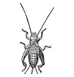 House cricket pupa vintage vector