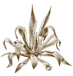Engraving agave vector