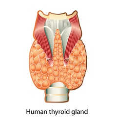 Human thyroid gland vector image