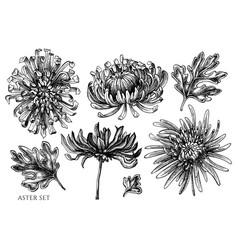 Set hand drawn black and white aster vector