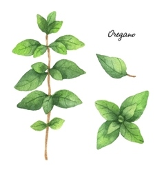 Watercolor branches and leaves of oregano vector