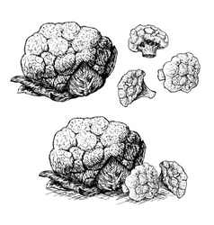 Hand drawn set of cauliflower sketch vector