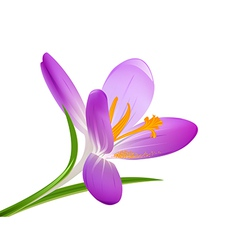 Blooming crocus on a white background vector image