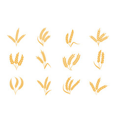 wheat and rye ears harvest stalk grain vector image
