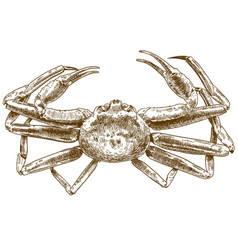 engraving drawing of chionoecetes opilio crab vector image