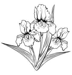 hand drawn iris flower sketch vector image