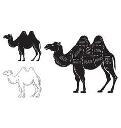 Cut of camel set poster butcher diagram - desert vector