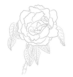 drawing of rose for coloring book vector image vector image