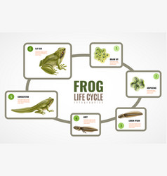 Frog life cycle infographics vector