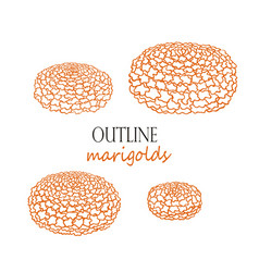 marigolds in quarter view orange flowers vector image
