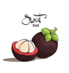 Sweet mangosteen vector