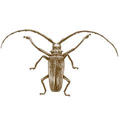 engraving drawing longhorn beetles vector image