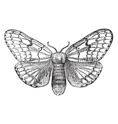 Gypsy moth female vintage vector