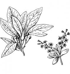 plant sassafras vector image
