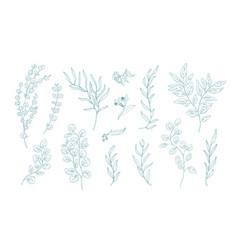 collection various eucalyptus branches vector image