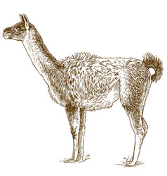 etching drawing of lama vector image vector image