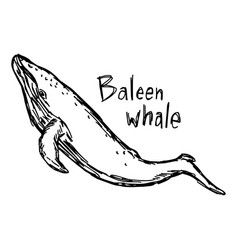 Baleen whale - sketch hand drawn vector