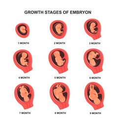 Embryo growth stage set with names medical poster vector