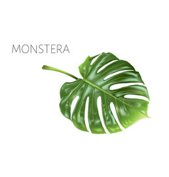 Monstera leaf isolated on white vector