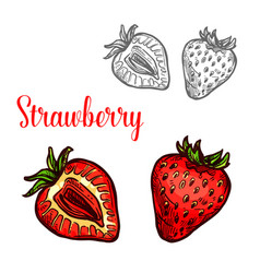 strawberry fruit isolated sketch of fresh berry vector image