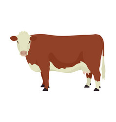 Hereford cow british breed beef cattle flat vector