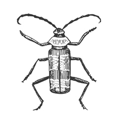 beetle insect species isolated engraved hand vector image