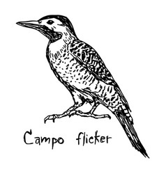 Campo flicker - sketch hand drawn vector