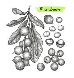 ink sketch of macadamia vector image