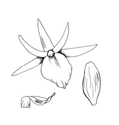 orchid flowers sketch hand vector image vector image