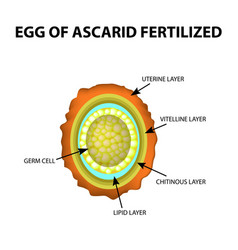 Egg roundworm is fertilized ascaris eggs vector