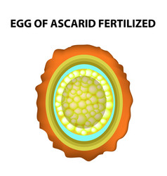 Egg of the roundworm is fertilized ascaris eggs vector