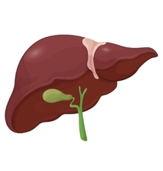 Human liver with gall bladder in vector