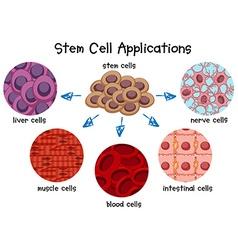 Diagram different stem cells vector