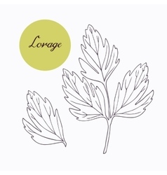 Hand drawn lovage branch with leaves isolated on vector image