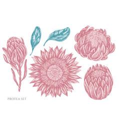 Set hand drawn pastel protea vector
