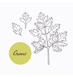 Hand drawn chervil branch with leaves isolated on vector image vector image