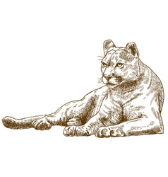 engraving of cougar vector image vector image