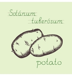 vintage hand drawn potato vector image
