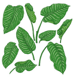 green dieffenbachia leaves sketch vector image