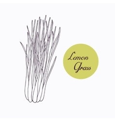 Hand drawn lemongrass branch with leaves isolated vector image