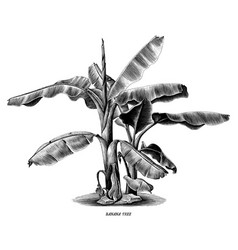 banana tree vintage hand draw engraving clip art vector image