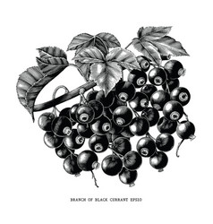 branch of black currant botanical vintage vector image