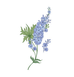 Delphinium or larkspur purple blooming flowers vector