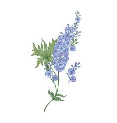 delphinium or larkspur purple blooming flowers vector image