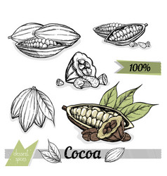 cocoa isolated on white background vector image