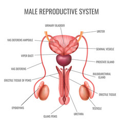 Realistic male reproductive system vector