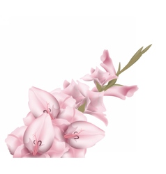 Sword lily gladiolus isolated vector