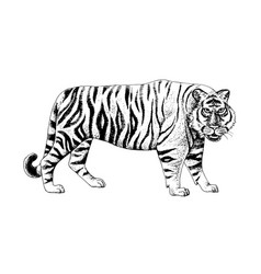 hand drawn black and white tiger vector image