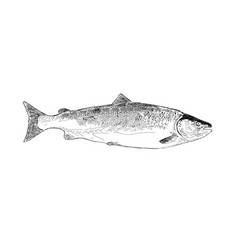 Salmon fish hand drawn vector
